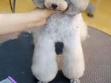 沈阳宠物美容师培训班-宠物美容师学习注意-来妞妞家