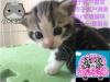 猫苑英美短毛猫生宝宝