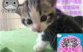 猫苑英美短毛猫生宝宝了,希望能给它们找一个新家