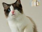 海豹双色布偶猫种公对外借配种-猫猫天空