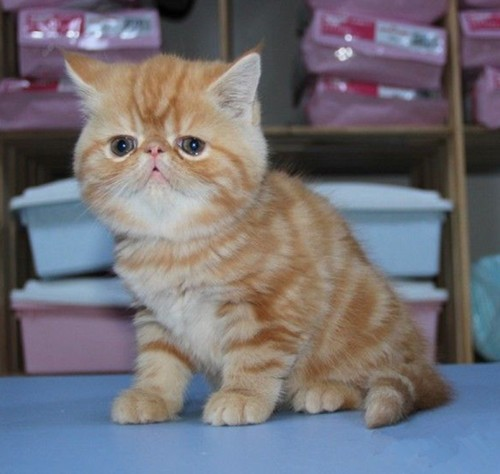 深圳猫舍出售纯种短毛猫 英短美短 异国短毛猫 血统纯正包健康