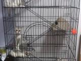 出售 单血统幼猫 出售单血统幼猫