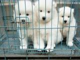 出售家养萨摩幼犬