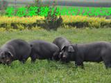 哪里出售黑仔猪黑猪苗黑小猪价格便宜品种好