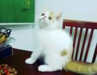 异国短毛加菲猫实价一千三百 且买一送四