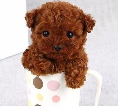 上海哪里卖茶杯泰迪犬 上海茶杯犬价格多少图片