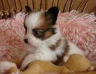 精品蝴蝶犬包纯种保健康签协议出售全国可飞可上门