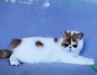 可爱的加菲猫宠物猫