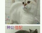 金吉拉,银渐层,金渐层,小蓝猫