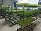 哇,綠禾園芽苗菜的市場前景這么大呀