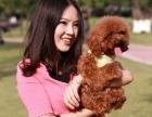西安狗狗之家长期出售高品质 泰迪 售后无忧