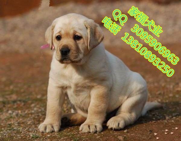 北京纯种拉布拉多多少钱 北京哪卖拉布拉多幼犬 赛级拉布拉多