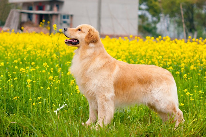 纯种金毛 品相一流 包健康 赛级金毛 金毛导盲犬