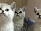 美国短毛猫幼猫 银虎斑 美短纯种短毛猫 可上门看
