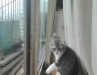 家养折耳短毛猫伍白
