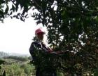 2000棵南丰蜜橘树果园转让