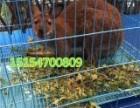 哪里有袋鼠出租租赁的-嘉祥县俊辉养殖有限公司