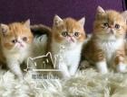加菲猫cfa血统幼猫40天