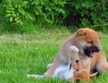 大连柴犬出售、柴犬多少钱、纯种柴犬图片、柴狗幼犬