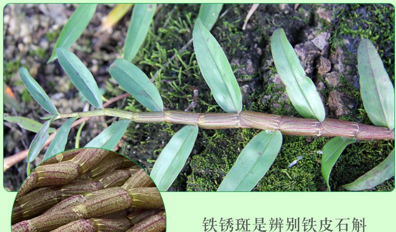 野生铁皮石斛 铁皮石斛多少钱一斤 铁皮石斛的功效与作用图片