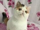 .猫舍低价出售加菲猫 包纯种保健康疫苗已做