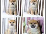 自己家养的双血统柴犬犬 颜值高 忍痛出售