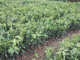 雅安无核沃苗 无核沃苗苗圃 雅安种柑桔苗