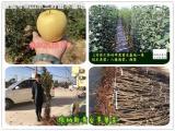 维纳斯黄金苹果苗品种介绍山东泰安