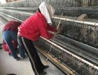大品种鹅苗免费配送饲料养殖免费鹅棚搭建回收成品再结
