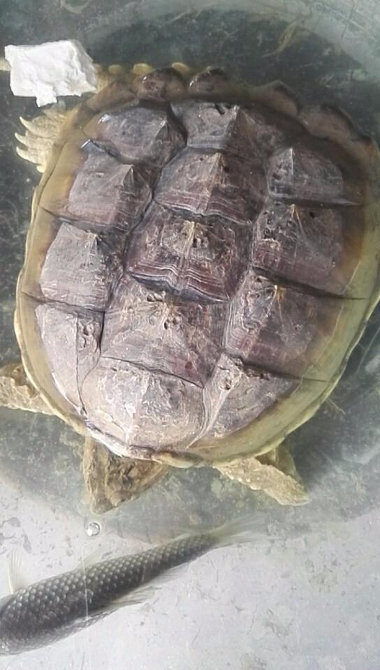 巴西百年老龟低价出售野生的
