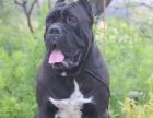 猛犬养殖基地,出售纯种杜高犬,比特犬,卡斯罗可视频