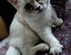 纯种银点公猫