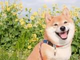 赤峰全国可支持发货 也可视频挑选 杜宾 杜高犬 卡斯罗犬