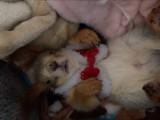 出售魔王松鼠雪地松鼠蜜袋鼯红腹黄山松鼠
