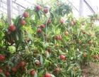 山东油桃.油桃树.西瓜