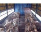山东赞成肉狗养殖基地出售肉狗苗加盟 种植养殖
