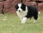 边境牧羊犬幼犬 优秀飞盘手 品相好 身体壮责任心强