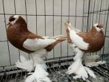 无锡自家繁殖元宝鸽 圆环鸽 摩登鸽出售