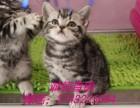 英短美短弟弟妹妹 宠物猫专业繁殖批发零售