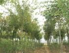 天津市蓟州邦均镇自家五角枫苗木批发