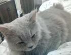 英国长毛猫 公 求母猫