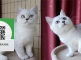 柳州哪里有蓝猫出售 柳州蓝猫价格 柳州宠物猫转让出售