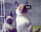 南充酷宠宠物店3月23日出售纯种暹罗猫宝宝一窝现货