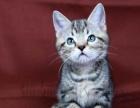 美短虎斑幼猫超萌