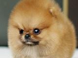 一只博美钱 里有卖博美犬的