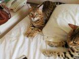 野性外表温柔家猫性格 时尚 漂亮 孟加拉宝宝