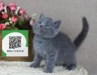 南阳在哪里卖健康纯种宠物猫 南阳哪里出售蓝猫