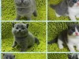 自己家纯种英短猫咪可以去新家了便宜出售