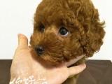 霞山看狗0759犬业出售精品玩具体小体泰迪