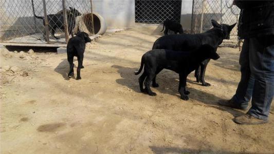 纯种黑狼 黑狼犬 品相 包健康 价格优惠